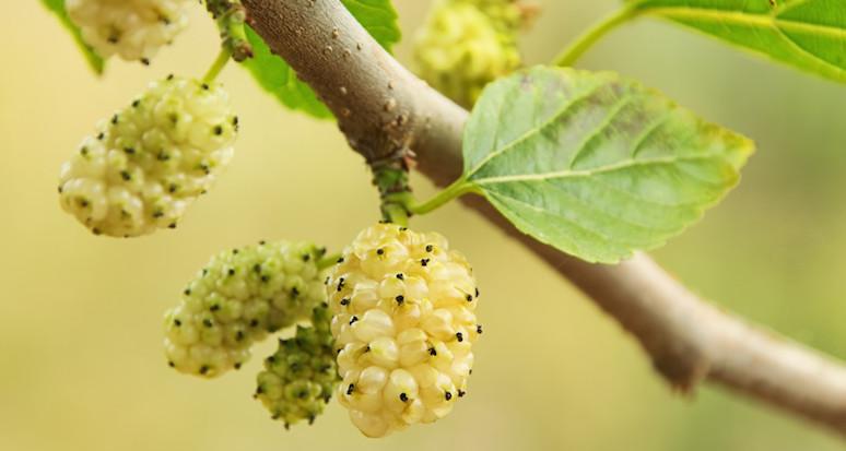 Bacche di gelso bianco: frutto della salute