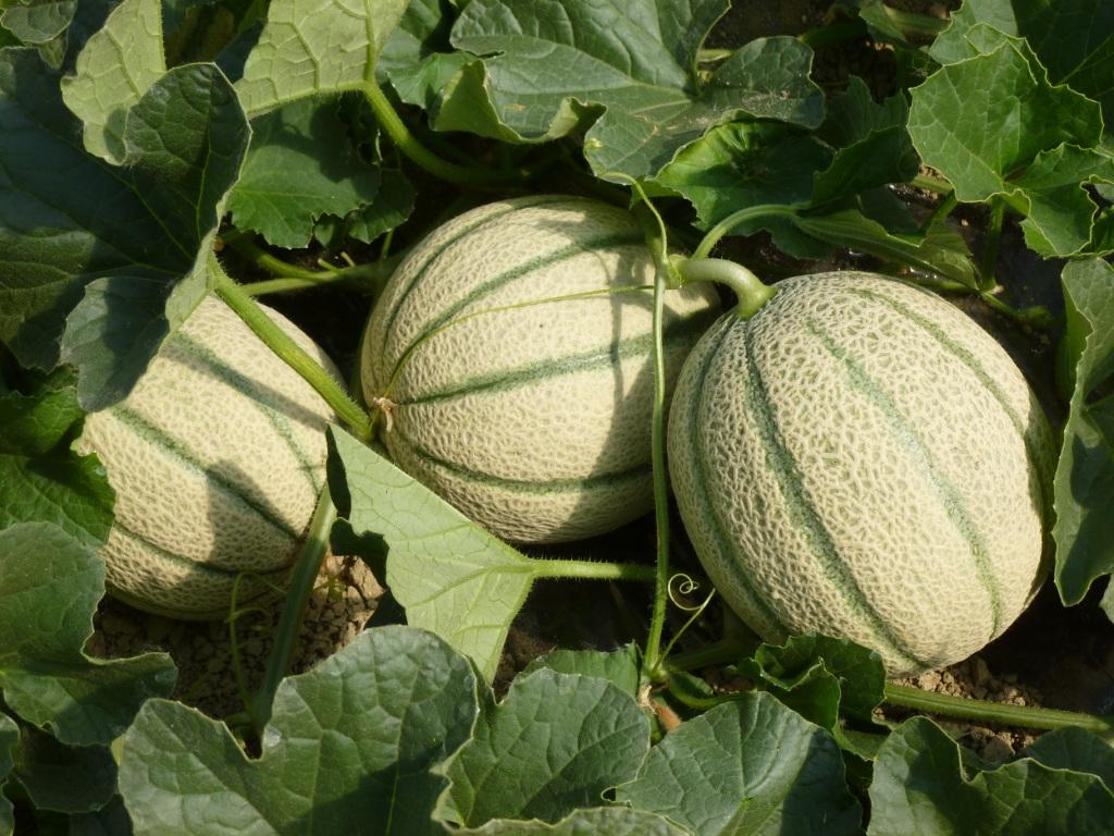 Il melone: frutto estivo per eccellenza