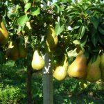 Pere: falso frutto, amore vero!