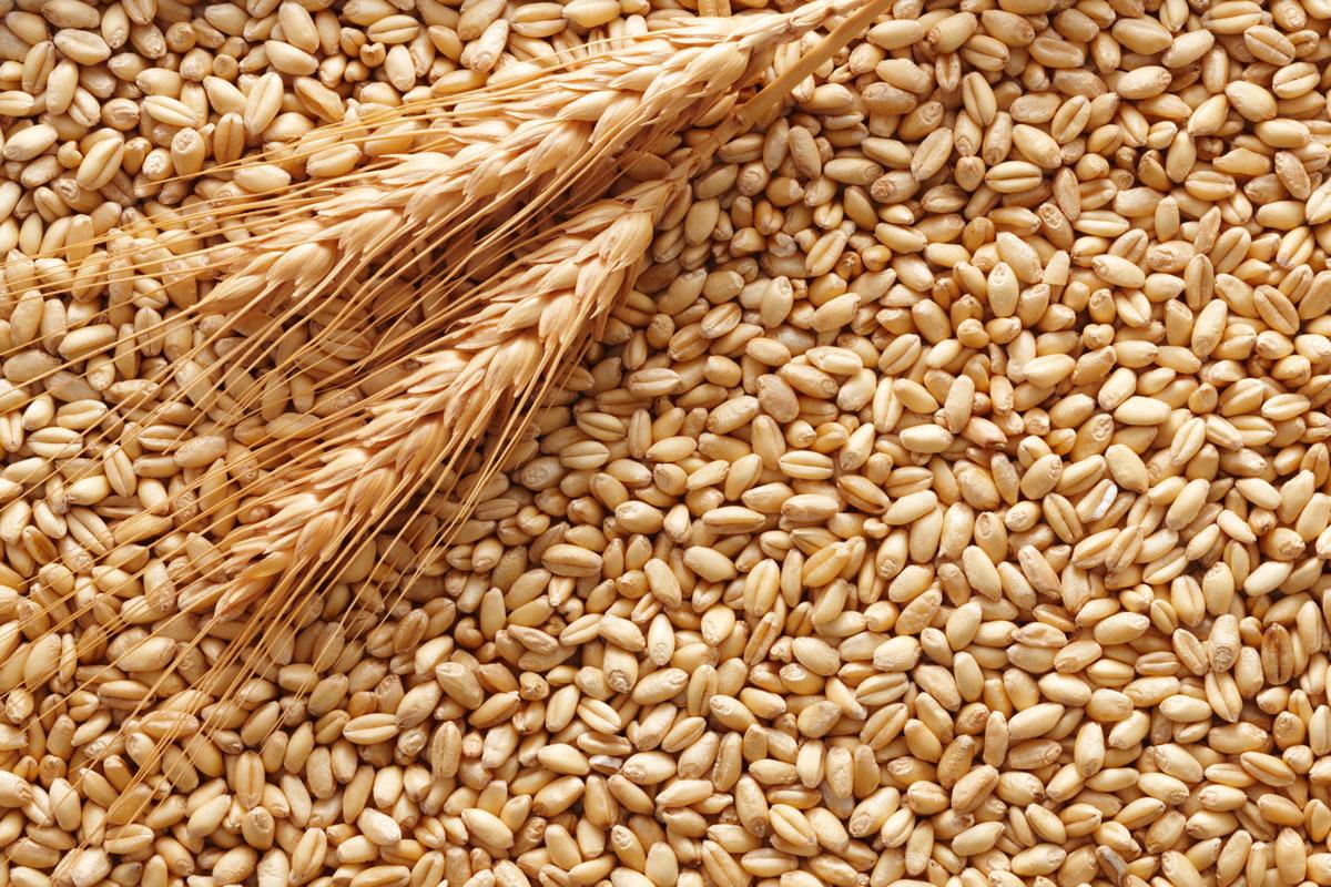 I grani antichi: storia e attualità dei cereali ritrovati