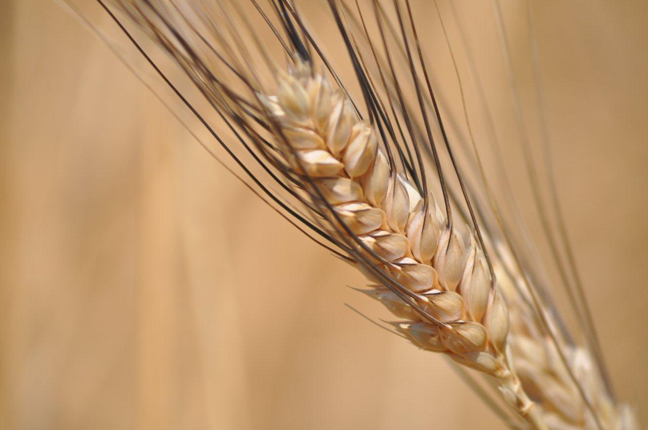 Spiga di grano Senatore Cappelli