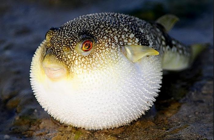 Pesce palla o fugu