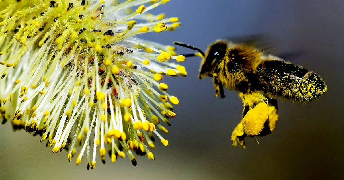 Polline di api