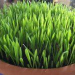 Erba di grano: la forza verde della natura