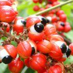 """Guaranà: il """"fruto de juventude"""" brasiliano"""