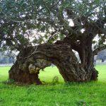 Carrube: i frutti dimenticati